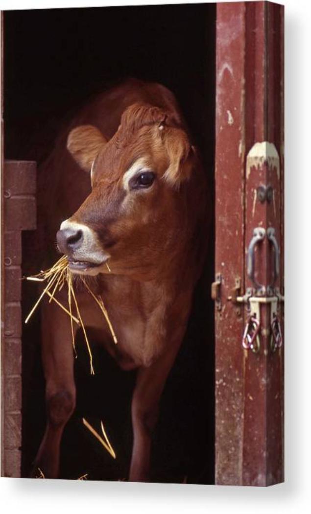 Screenshot_2021-01-25 Jersey Cow Canvas Print Canvas Art by Skip Willits
